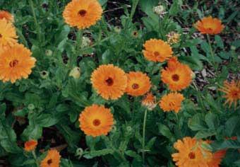Ringelblumen (Calendula)