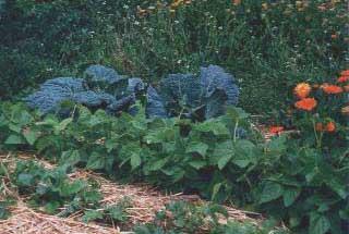 Wirsing und Buschbohnen